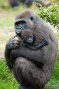 Ebola impacting Chimps and Gorillas even more than humans