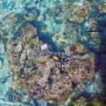 Plastic in the Oceans Increasing Risk of Disease in Coral Reefs